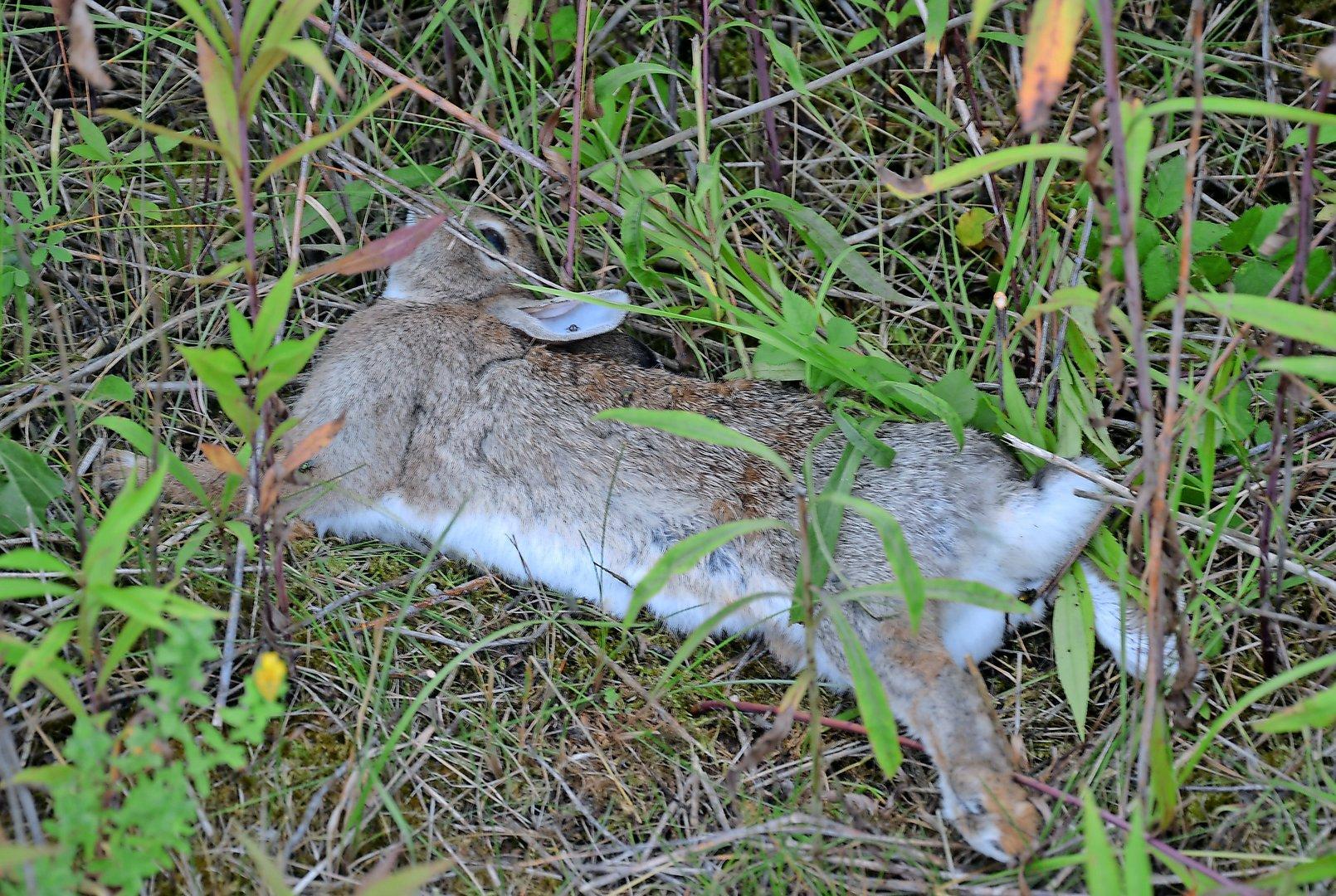 Kaninchen Sterben